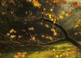 Beautiful golden Autumn leaves with bright backlighting from sun  Krajobraz Fototapeta