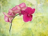 pink orchid branch against green corroded background  Orientalne Fototapeta