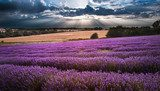 Beautiful lavender field landscape with dramatic sky  Prowansja Fototapeta