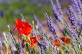 lavender field in France with red poppies  Prowansja Fototapeta