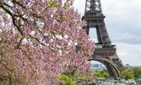 Spring in Paris. Blossoming jacarandas and the Eiffel Tower  Wieża Eiffla Fototapeta