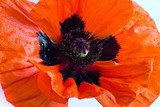 Single Orange Poppy  Fototapety Maki Fototapeta