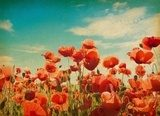 paper textures.  field of poppies  Maki Fototapeta