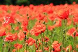 corn poppy flowers field  Maki Fototapeta