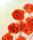 composition with red poppy flowers  Maki Fototapeta