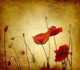 red retro poppies  Fototapety Maki Fototapeta