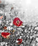 meadow with red poppies - monochromatic picture  Maki Fototapeta