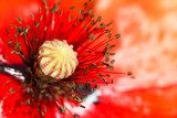 blooming red poppy flower macro  Fototapety Maki Fototapeta