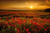 Poppy field at sunset  Maki Fototapeta