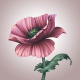 beautiful pink poppy isolated on light background  Fototapety Maki Fototapeta