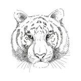 Tiger Face, Vector  Drawn Sketch Fototapeta