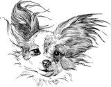 chihuahua  Drawn Sketch Fototapeta