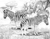 Safari - zebras - coloring page  Drawn Sketch Fototapeta