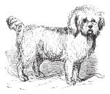 Barbet or Canis lupus familiaris vintage engraving  Drawn Sketch Fototapeta