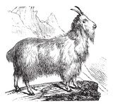Wild Goat vintage engraving  Drawn Sketch Fototapeta