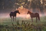 horses in morning misty sunbeams  Zwierzęta Fototapeta
