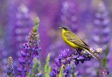 Western Yellow Wagtail on lupine flower  Zwierzęta Fototapeta