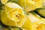Close up image of beautiful yellow roses  Kwiaty Plakat