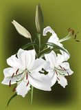bunch of three white lily flowers on green background  Kwiaty Plakat