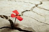 red flower growing out of cracks in the earth  Kwiaty Plakat