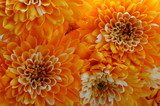 macro of orange aster flower  Kwiaty Plakat