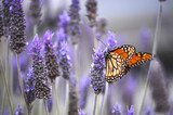 Butterfly with lavenders  Kwiaty Plakat