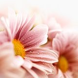 Beautiful daisy flowers closeup  Kwiaty Plakat