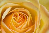 Close up image of orange and yellow rose  Kwiaty Plakat