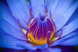 purple lotus  Kwiaty Plakat