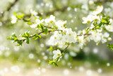 Beautiful fruit blossom outdoors  Kwiaty Plakat