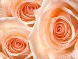 rose flower  Kwiaty Plakat