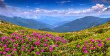 Magic pink rhododendron flowers on summer mountain  Pejzaże Plakat