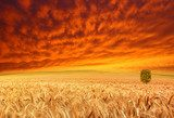 golden crop and red sky  Pejzaże Plakat