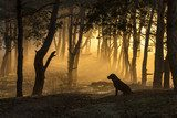 Dog sits in a tight fog in pine forest at dawn in the morning in  Pejzaże Plakat
