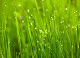 Green grass with waterdrops  Trawy Fototapeta