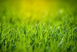 Fresh green grass  Trawy Fototapeta