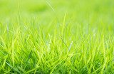 Fresh green grass with water droplet on sunshine  Trawy Fototapeta