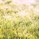 Green grass sunrise  Trawy Fototapeta