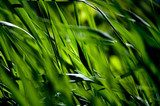 A green grass nature background  Trawy Fototapeta