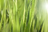 Background of Green Grass Meadow with Shining Rain Drops  Trawy Fototapeta