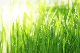 Bright sunny background with grass and water droplets  Trawy Fototapeta
