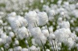 Cotton Grass. Windy weather.  Trawy Fototapeta
