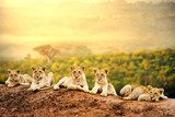 Lion cubs waiting together.  Afryka Fototapeta