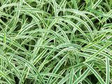 natural background from wet green leaves of Carex  Trawy Fototapeta