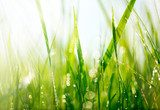 Fresh green grass with dew drops closeup. Soft Focus  Trawy Fototapeta