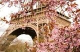Spring in Paris. Bloomy cherry tree and the Eiffel Tower  Wieża Eiffla Fototapeta