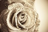Wet retro - toned vibrant color single rose background  Sepia Fototapeta