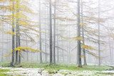 larch forest in autumn with vivid yellow color  Las Fototapeta