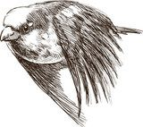 flying sparrow  Drawn Sketch Fototapeta