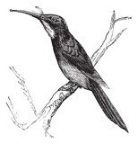 Green-tailed Jacamar or Galbula galbula vintage engraving  Drawn Sketch Fototapeta